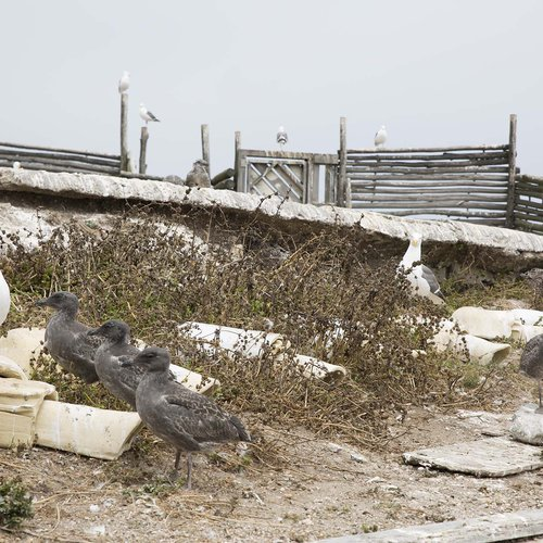 Nathan Lynch and Oikonos installed nesting modules during a visit to Año Nuevo Island.