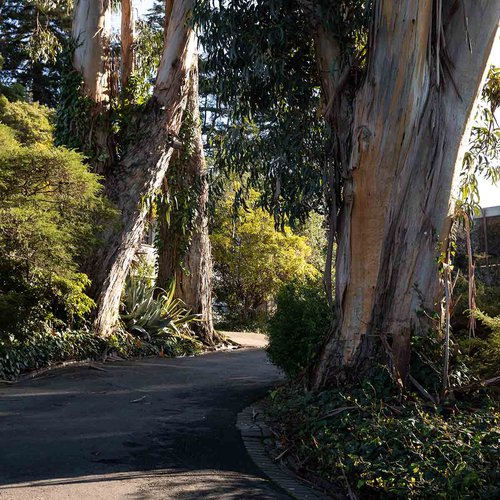 Eucalyptus trees are prevalent in the East Bay and on the Oakland campus.