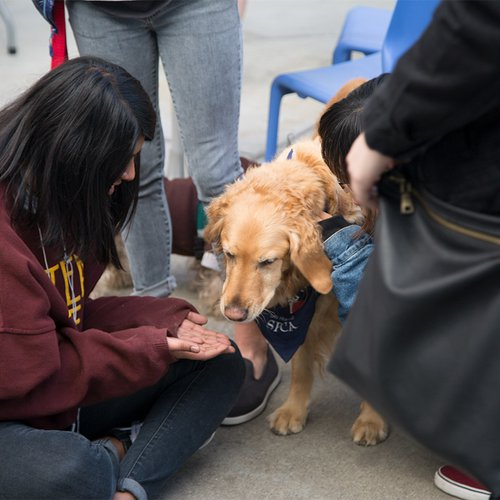 Therapy dogs visiting campus during midterms